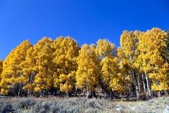 De bomen van de esp in de herfst Stock Afbeelding