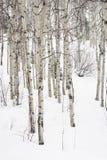De bomen van de esp in de winter. Stock Afbeeldingen