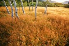 De Bomen van de esp in een Weide Royalty-vrije Stock Afbeelding