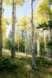 De Bomen van de Esp van Colorado Royalty-vrije Stock Fotografie