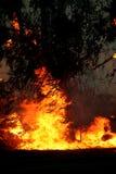De bomen van de eucalyptus op brand Stock Foto's