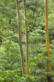 De bomen van de Eucalyptus van de regenboog. Stock Foto