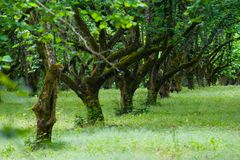 De bomen van de hazelnoot Royalty-vrije Stock Foto's