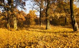 De bomen van de herfst (eik) Stock Afbeeldingen