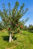 De bomen van de Honeycrispappel Royalty-vrije Stock Fotografie