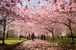 De bomen van de Japenesekers het tot bloei komen de mensen van de lentedenemarken Stock Afbeeldingen