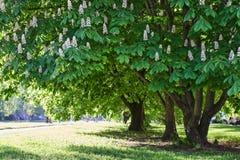 De bomen van de kastanje in park Stock Foto's
