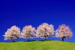 De bomen van de kers Royalty-vrije Stock Afbeeldingen