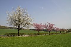 De bomen van de kers in de lente, Nedersaksen, Duitsland Royalty-vrije Stock Afbeeldingen