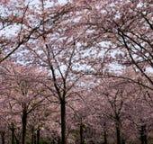 De bomen van de kersenbloesem Royalty-vrije Stock Afbeelding