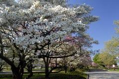 De Bomen van de kornoelje Stock Afbeelding