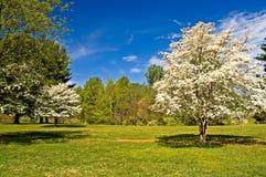De Bomen van de kornoelje in Bloei stock foto's