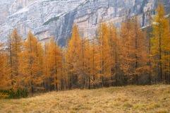 De bomen van de lariks in de herfst royalty-vrije stock afbeelding