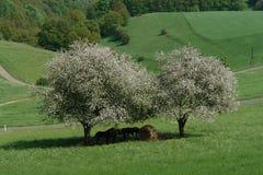 De lentebomen royalty-vrije stock afbeelding