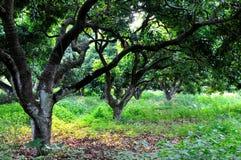 De bomen van de lychee en gevallen bladeren Royalty-vrije Stock Afbeeldingen