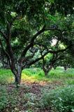 De bomen van de lychee en gevallen kleurrijke bladeren Royalty-vrije Stock Afbeeldingen