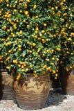 De bomen van de mandarijn in potten Stock Foto's