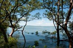 De bomen van de mangrove Royalty-vrije Stock Foto