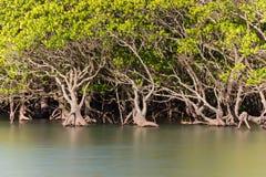 De bomen van de mangrove Royalty-vrije Stock Foto's