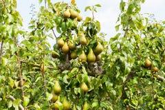 De bomen van de peer die met fruit in een boomgaard worden geladen Stock Foto