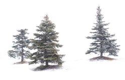 De bomen van de pijnboom Stock Afbeelding