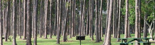 De bomen van de pijnboom Stock Afbeeldingen