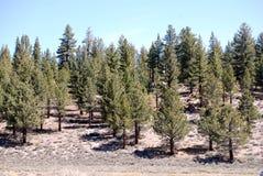 De bomen van de pijnboom royalty-vrije stock afbeeldingen