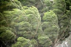 De bomen van de pijnboom in de winter Stock Afbeelding