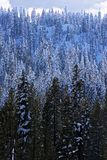 De Bomen van de pijnboom in de Winter Stock Foto