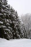 De Bomen van de pijnboom in de Wintermaanden. Stock Foto's