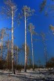 De bomen van de pijnboom die met sneeuw worden behandeld Royalty-vrije Stock Foto