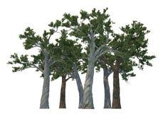 De bomen van de pijnboom die op wit worden geïsoleerdl Stock Fotografie