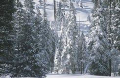 De Bomen van de pijnboom die in Sneeuw worden behandeld, Stock Fotografie