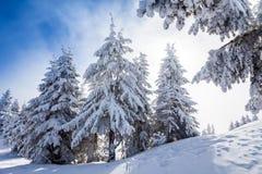 De Bomen van de pijnboom die in Sneeuw worden behandeld Stock Foto