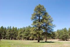 De bomen van de pijnboom in het bos Stock Afbeeldingen