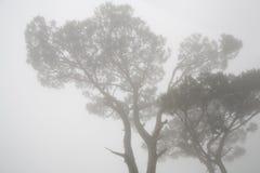 De bomen van de pijnboom in mist royalty-vrije stock fotografie