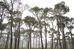 De bomen van de pijnboom in mist stock afbeelding