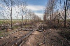 De bomen van de pijnboom na een bosbrand royalty-vrije stock afbeelding