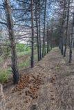 De bomen van de pijnboom na een bosbrand stock foto's