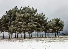 De Bomen van de pijnboom op Sneeuw Overzeese Bank Stock Afbeeldingen