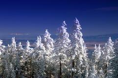De Bomen van de Pijnboom van de Winter van de Berg van New Mexico in Sneeuw Royalty-vrije Stock Foto's