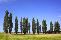 De bomen van de populier Royalty-vrije Stock Foto's