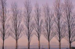De bomen van de populier Royalty-vrije Stock Afbeeldingen