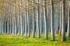 De bomen van de populier. royalty-vrije stock fotografie