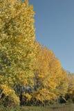 De bomen van de populier in de herfst Royalty-vrije Stock Foto's