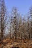 De bomen van de populier in de winter Stock Afbeelding