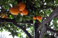 De Bomen van de sinaasappel en van de Citroen stock afbeeldingen