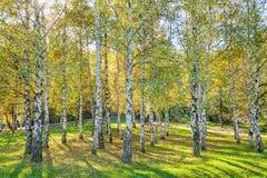 De bomen van de Siverberk Royalty-vrije Stock Afbeelding