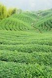 De bomen van de thee op heuvel Stock Afbeelding