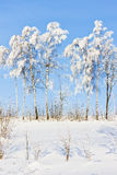 De bomen van de winter Stock Foto